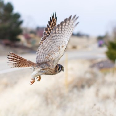 Female American Kestrel in flight (photo credit: Neil Paprocki)