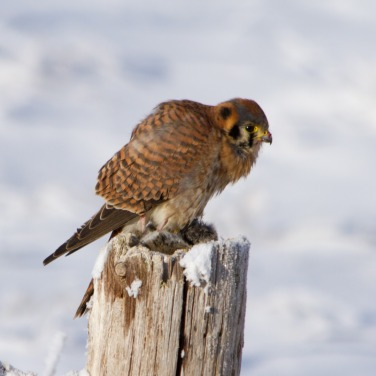 Female American Kestrel overwintering in Idaho (photo credit: Neil Paprocki)