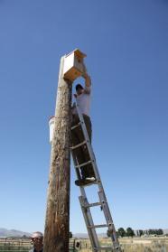 Hawkwatch International biologist Jesse Watson reaches into a nest box in Utah