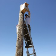 Hawkwatch International biologist Jesse Watson reaches into a nest box in Utah