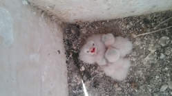 Recently hatched American Kestrel nestlings in the Treasure Valley, Idaho. Photo credit: Anjolene Hunt