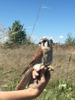 Adult female American Kestrel (Treasure Valley, Idaho). Credit: Hanna McCaslin