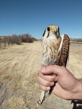 A female American Kestrel captured in New Mexico
