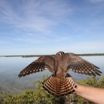 Female kestrel in front of open water in the Florida Keys, USA - Photo by Anjolene Hunt