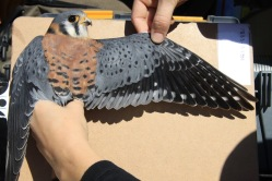 Standardized photographs are taken of this male kestrel's plumage during the banding process