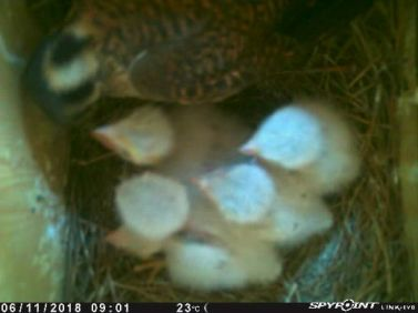 American Kestrel feeds her 5 young nestlings (caught on a trail camera)