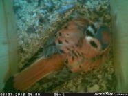 Male American Kestrel incubating eggs