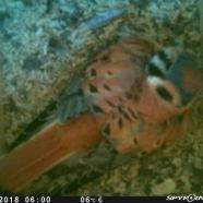 Male American Kestrel incubating eggs