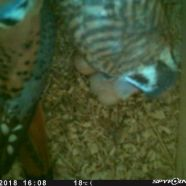 Male and female American Kestrel with newly hatched nestling