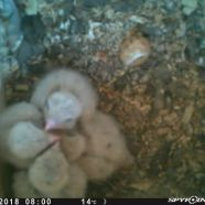Four American Kestrel nestlings