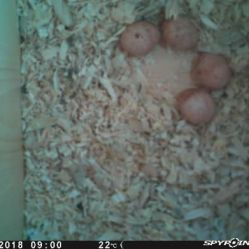 Four American Kestrel eggs inside a nest box