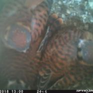 Four American Kestrel nestlings almost ready to leave the nest