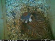 Female American Kestrel incubating eggs