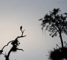 Bat falcon (Falco rufigularis) - Photo by Jesse Watson