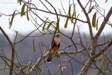 Aplomado falcon (Falco femoralis) - Photo by Jesse Watson