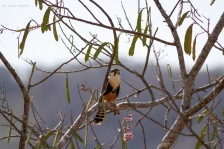 Aplomado falcon (Falco femoralis) - Photo by Jesse Watson