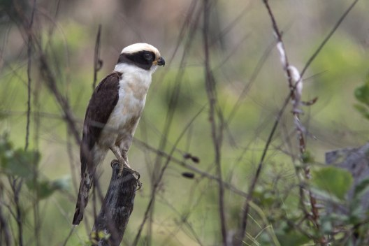 Laughing falcon (Herpetotheres cachinnans) - Photo by Bryce Robinson