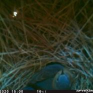 bluebirdncadult